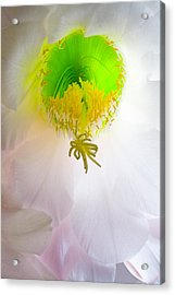 Cactus Bloom Number Six Acrylic Print