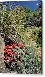 Crimson Barrel Cactus Acrylic Print