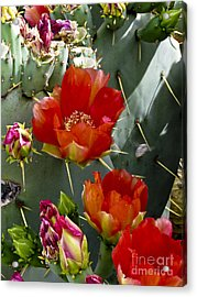 Cactus Blossom Acrylic Print by Kathy McClure