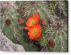 Acrylic Print featuring the photograph Cactus Blossoms by Monte Stevens