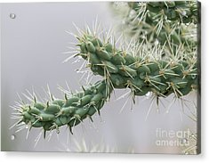 Cactus Branch With Wet White Long Needles Acrylic Print