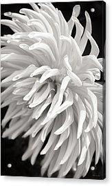 Cactus Dahlia Acrylic Print
