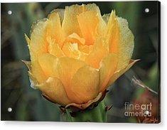 Cactus Flower 2016   Acrylic Print
