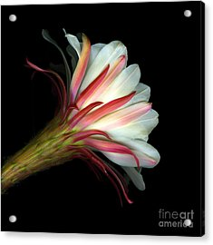 Cactus Flower Acrylic Print by Christian Slanec