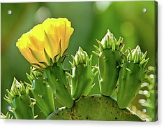 Acrylic Print featuring the photograph Cactus Flower On A Cactus Plant by Dan Carmichael
