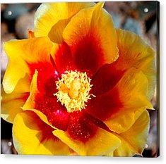 Cactus Flower V Acrylic Print