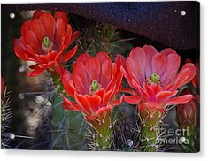Acrylic Print featuring the photograph Cactus Flowers by Frank Stallone