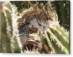 Cactus Wren Feather Acrylic Print