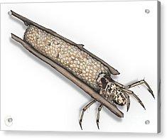 Caddisfly Limnephilidae Anabolia Nervosea Larva Nymph -  Acrylic Print