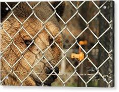 Caged Bear Acrylic Print