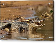 Caiman With Open Mouth Acrylic Print by Aivar Mikko