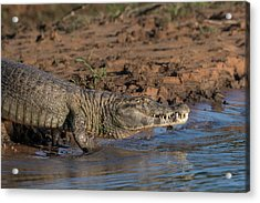 Acrylic Print featuring the photograph Caiman by Wade Aiken