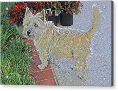 Cairn Terrier On The Patio Acrylic Print