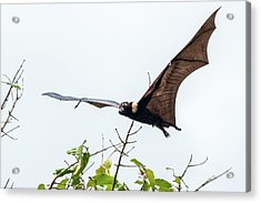Cairns Fruit Bat Acrylic Print
