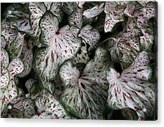 Acrylic Print featuring the photograph Caladium Leaves by Debi Dalio