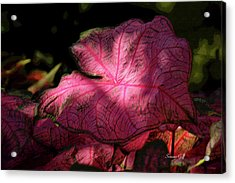 Caladium Mystery Acrylic Print by Suzanne Gaff