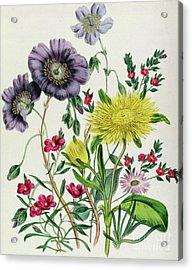 Calandrinia Acrylic Print by Jane Loudon