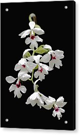 Calanthe Vestita Orchid Acrylic Print