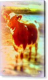 This Calf Has A Hope For A Long And Happy Life But How And When Will It End   Acrylic Print by Hilde Widerberg