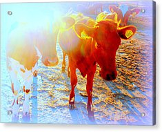 Freedom For The Calfs  Acrylic Print by Hilde Widerberg