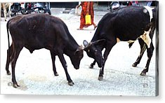 Calf Fighting Acrylic Print by Ragunath Venkatraman