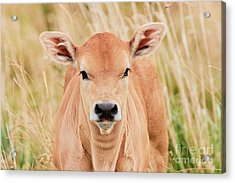 Calf In The High Grass Acrylic Print