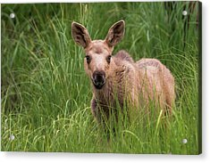 Calf Moose In The Grass Acrylic Print