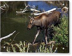 Calf Moose Acrylic Print by Marty Koch