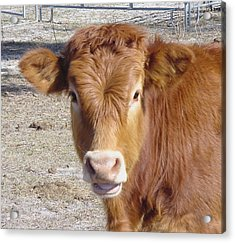 Calf Smiles Acrylic Print by Debbie May