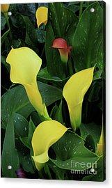 Cali Lilies Acrylic Print by David Shaffer