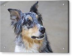 Calico Dog Acrylic Print by Robert Joseph