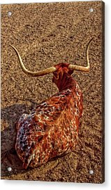 Calico Longhorn Acrylic Print by Linda Unger