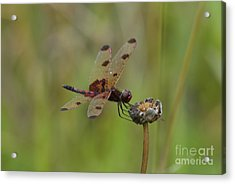 Calico Pennant Acrylic Print by Randy Bodkins