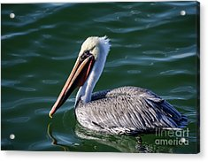 California Brown Pelican In Late Summer Acrylic Print