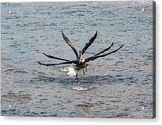 California Brown Pelicans Flying In Tandem Acrylic Print