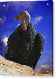 California Condor Acrylic Print by Anthony Jones