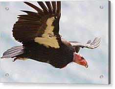 California Condor At Big Sur Acrylic Print