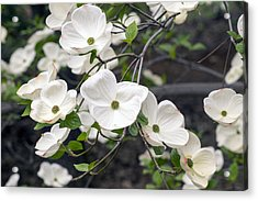 California Dogwood Acrylic Print