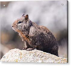 California Ground Squirrel Acrylic Print