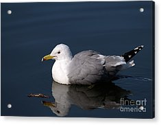 Acrylic Print featuring the photograph California Gull by Sharon Talson