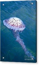 California Marine Life Acrylic Print by Bill Schildge - Printscapes