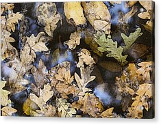 California Oak Leaves  Acrylic Print