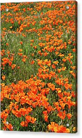 Acrylic Print featuring the mixed media California Poppies- Art By Linda Woods by Linda Woods