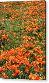 California Poppies- Art By Linda Woods Acrylic Print