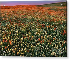 Acrylic Print featuring the photograph California Poppies At Dawn Lancaster California by Dave Welling