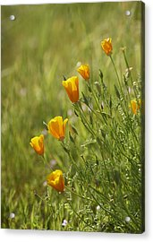 California Poppy Acrylic Print by Doug Herr