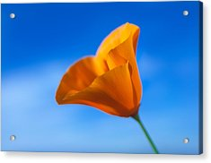 California Poppy Acrylic Print by Ralph Vazquez