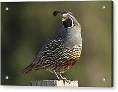 California Quail Male Santa Cruz Acrylic Print by Sebastian Kennerknecht