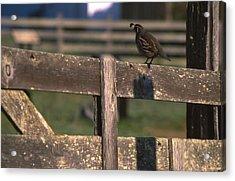 California Quail - Pierce Ranch Acrylic Print by Soli Deo Gloria Wilderness And Wildlife Photography