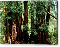 California Redwoods Acrylic Print by Sonja Anderson
